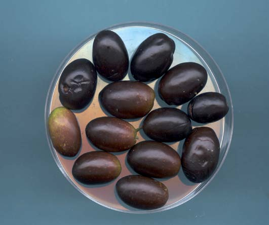 olivo di pomaro