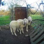 Pecore di terraviva