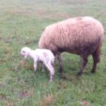 11 dicembre 2016 - A Terraviva è nato un nuovo agnellino: Damaso
